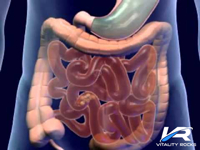 The Digestive Process - A Brief Description
