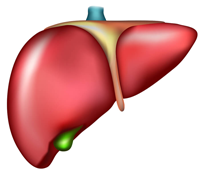 The Function of the Liver in the Body